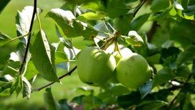 Зеленые яблоки на ветви с листьями Стоковое Фото