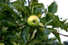 Зеленые яблоки на ветви с листьями Стоковое фото RF