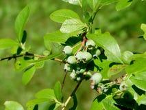 Зеленые ягоды Стоковые Изображения RF