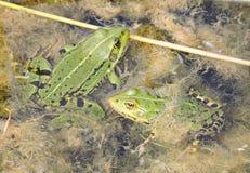 Зеленые лягушки в болоте Стоковое Изображение RF