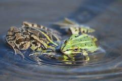 Зеленые лягушки в природе Стоковые Изображения