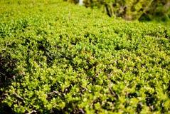 Зеленые bushes Стоковое фото RF