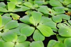 Зеленые duckweeds на воде Стоковая Фотография