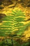 Зеленые fronds папоротника против чистой воды, реки сахара, нового Hampshir Стоковое Изображение