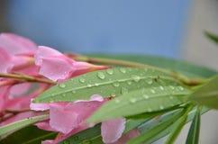 зеленые raindrops листьев Стоковое Изображение