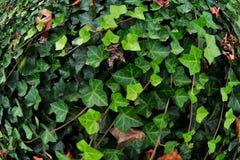 Зеленый английский плющ Стоковая Фотография RF