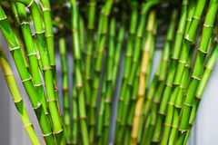 Зеленый бамбук в доме Домашнее оформление Стоковая Фотография RF