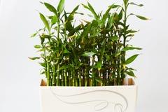 Зеленый бамбук Стоковые Изображения RF