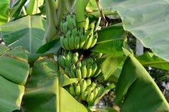 Зеленый банан Стоковые Фото