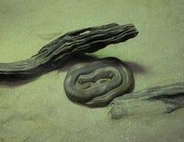 Зеленый бирманский питон Стоковые Фото
