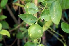 зеленый вал лимона Стоковое фото RF