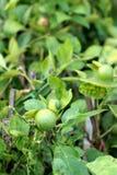 зеленый вал лимона Стоковые Изображения RF