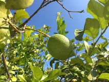 зеленый вал лимонов стоковые фотографии rf
