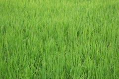 Зеленый взгляд поля неочищенных рисов Стоковое Изображение RF