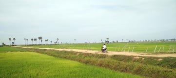 Зеленый взгляд рисовых полей Стоковое фото RF