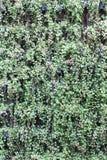 Зеленый вид орнаментальных заводов на стене Стоковые Изображения RF