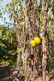 Зеленый вид томатов на ветви Стоковые Фото
