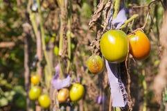 Зеленый вид томатов на ветви Стоковые Изображения