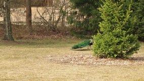 Зеленый голубой павлин акции видеоматериалы