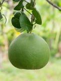 Зеленый грейпфрут Стоковое Изображение RF