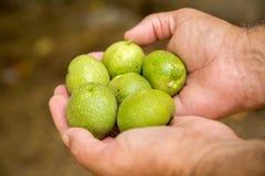 зеленый грецкий орех Стоковые Фото