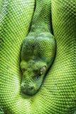 Зеленый глаз питона дерева Стоковое Изображение