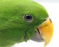 Зеленый глаз попыгая (roratus Eclectus) стоковые фотографии rf