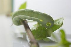 Зеленый глист с листьями Стоковое Изображение RF