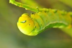 Зеленый глист Стоковое Изображение