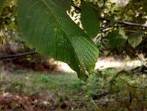 Зеленый лепесток Стоковая Фотография RF