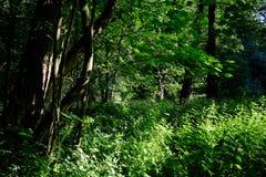 Зеленый лес весны в лучах солнца Стоковое Изображение RF