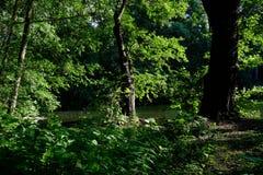 Зеленый лес весны в лучах солнца Стоковая Фотография