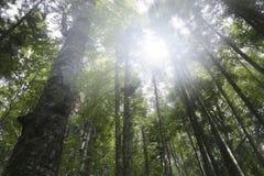 Зеленый лес ели Стоковые Изображения RF