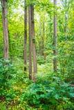Зеленый лес Мэриленд Стоковые Изображения RF