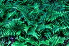 Зеленый лес папоротника в Пенсильвании Стоковая Фотография