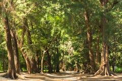 Зеленый лес с корнями шатра и дерева Стоковые Фотографии RF