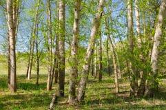 Зеленый лес тополя Стоковые Изображения