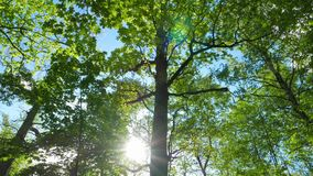 Зеленый лес дуба, панорама акции видеоматериалы