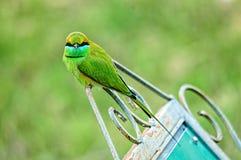 Зеленый едок пчелы Стоковое Фото