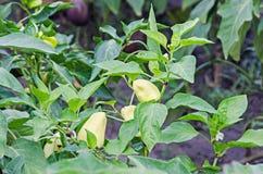 Зеленый, желтый болгарский перец, также известный как голова ` s Джна или перец Стоковая Фотография
