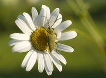 Зеленый жук на цветке Стоковая Фотография
