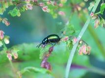 Зеленый жук дока на цветках дока Стоковая Фотография RF