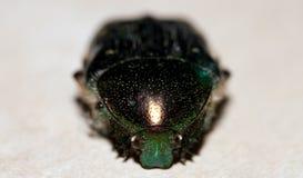 Зеленый жук Стоковые Изображения RF