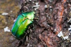 Зеленый жук стоковые изображения