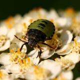 Зеленый жук стоковое фото