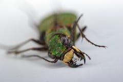 Зеленый жук Стоковые Фото