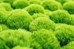 зеленый завод гвоздики фокуса, Стоковое фото RF