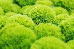 Зеленый завод гвоздики фокуса Стоковая Фотография