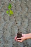 Зеленый завод дерева Стоковое Изображение