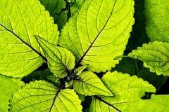 Зеленый завод Coleus Стоковое фото RF